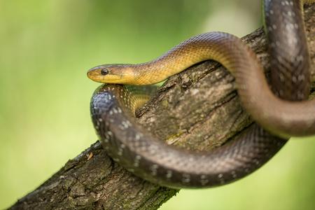 Aesculapian snake Zamenis longissimus in Czech Republic