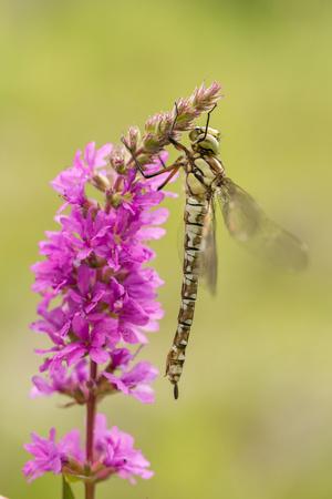 Wildlife macro photo of southern hawker, Aeshna cyanea, dragonfly Stock Photo