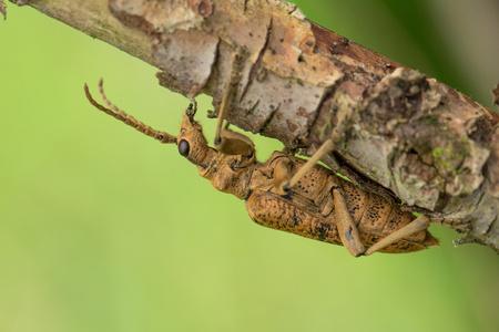 Wildlife macro photo of Blackspotted Pliers Support Beetle Rhagium mordax Banco de Imagens