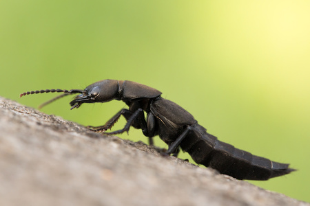 Wildlife macro photo of The Devil's coach-horse beetle Ocypus olens Reklamní fotografie
