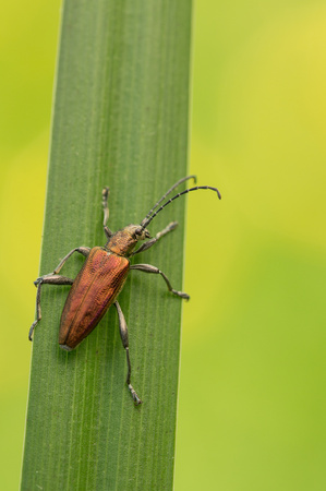 Wildlife macro photo of Leaf Beetle sp., Donacia sp., in Czech Republic Banco de Imagens