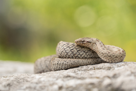 Wildlife photo of Smooth snake, Coronella austriaca Banco de Imagens