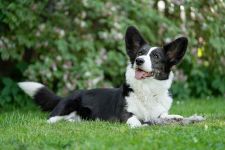 Welsh Corgi Cardigan tricolor with brindle points
