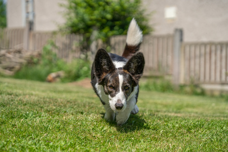 Welsh Corgi Cardigan tricolor with brindle points, running in garden