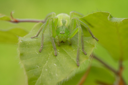 Green huntsman spider, Micrommata virescens camouflaged on leaf, in Czech Republic