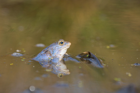 The Moor frog Rana arvalis in Czech Republic