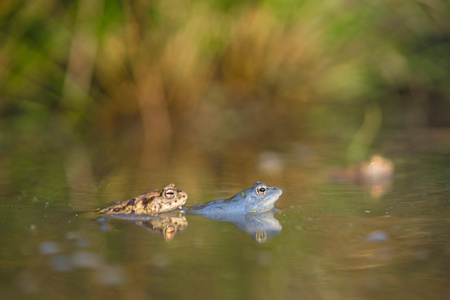 The Common toad Bufo bufo and The Moor frog Rana arvalis in Czech Republic Banco de Imagens