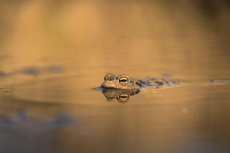 The Common toad Bufo bufo in Czech Republic