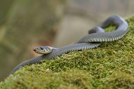 Wildlife photo of grass snake in Czech Republic