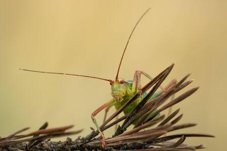 Macro photo of tailed bush cricket Barbitistes constrictus 写真素材