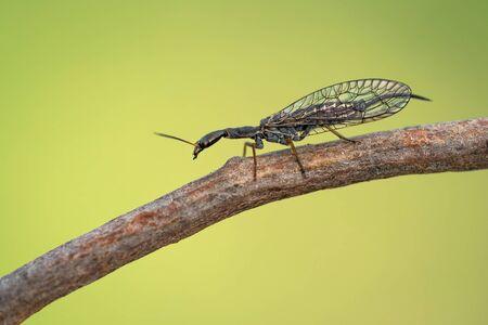Female of the snakefly Phaeostigma notata in Czech Republic
