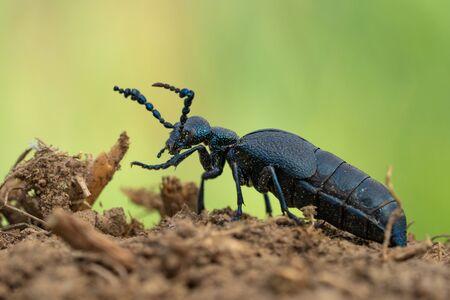 Oil Beetle Meloe proscarabaeus in Czech Republic