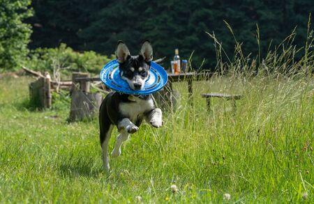 Mixed-breed juvenile dog of Siberian Husky on meadow, playing, running. 版權商用圖片