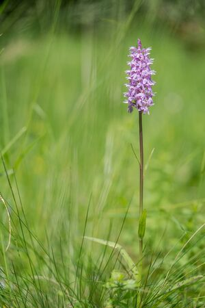 Common Spotted Orchid Dactylorhiza fuchsii, in meadow