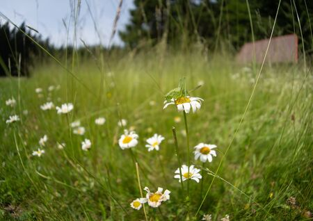 meadow with lots of Ox-eye daisy Leucanthemum vulgare and juvenile female great green bush-cricket