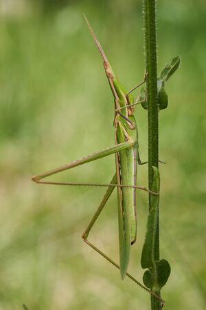 Green grasshopper Acrida ungarica in Krk, Baska, Croatia 免版税图像