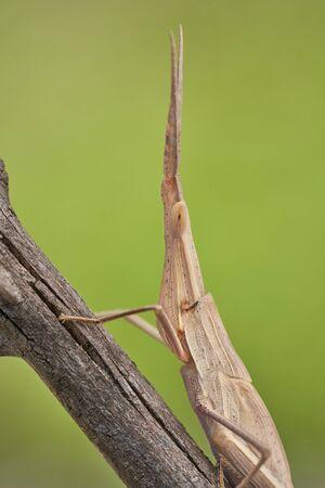 Green grasshopper Acrida ungarica in Krk, Baska, Croatia 版權商用圖片