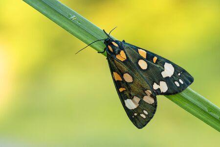Scarlet tiger moth Callimorpha dominula in Czech Republic