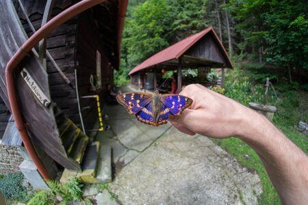 The Lesser Purple Emperor, Apatura ilia on hand in Czech Republic