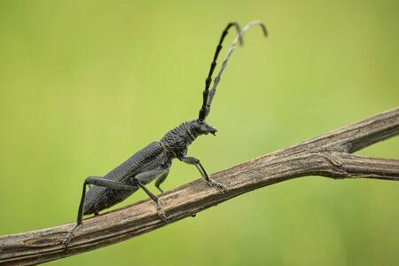 The capricorn beetle Cerambyx scopolii in Czech Republic