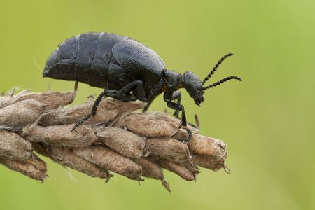 Female of an oil beetle Meloe scabriusculus, a rare and endangered insect species in Czech Republic