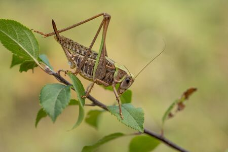 Female of The wart biter grasshopper Decticus verrucivorus in Romania