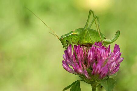 Krausss bush-cricket, Isophya kraussi, in Slovakia West Tatras Mountain