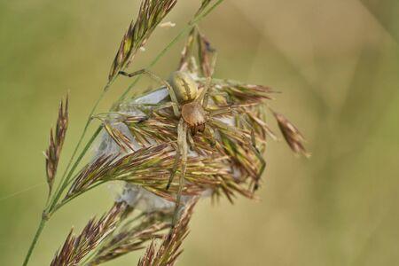 Yellow sac spider Cheiracanthium punctorium with nest in Czech Republic 版權商用圖片