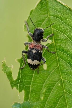 Beetle Clerus mutillarius sitting on a leaf in Czech Republic