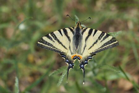 Scarce Swallowtail, Iphiclides podalirius in Czech Republic