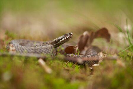 Female of European viper Vipera berus in Czech Republic