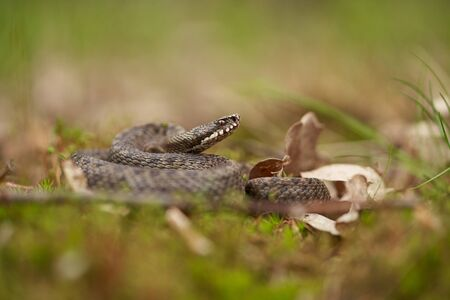 Female of European viper Vipera berus in Czech Republic
