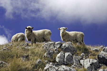 sheeps in the mountains photo
