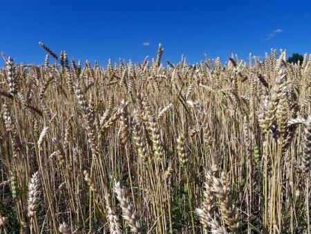 summer field crops under blue sky
