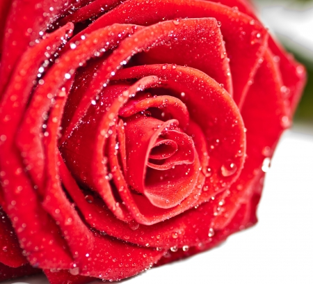 close ups: Red romantic  rose close ups
