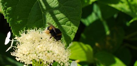 Borek collecting pollen for honey.