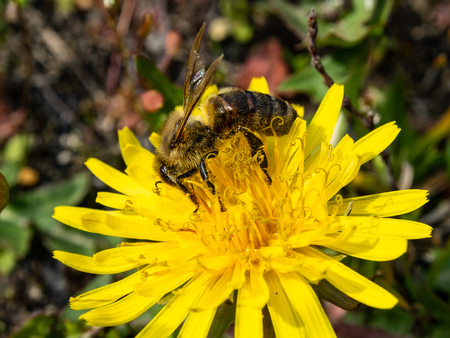 Bee collecting nectar from a dandelion flower. Sunny day, spring in the countryside. The process of pollinating flowers. Фото со стока