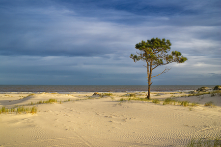 Solitary tree standing on a sandy beach with cloudy sky in the background                  photo