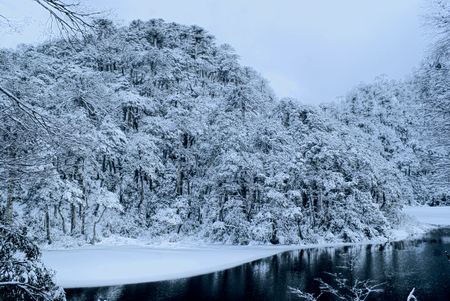 Panoramic view of dense forest under a snowy cover on the shore photo
