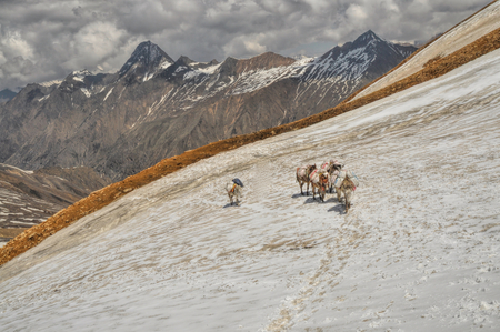 mules: Caravan of mules in high altitudes of Himalayas mountains in Nepal Stock Photo