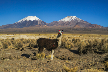 sajama: Cute llama in bolivian Sajama national park with scenic volcanoes Paranicota and Pomerape in the background Stock Photo