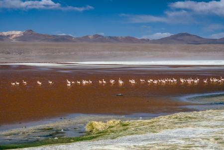 birds desert: Flamingo birds in red lake in bolivian desert near Salar de Uyuni