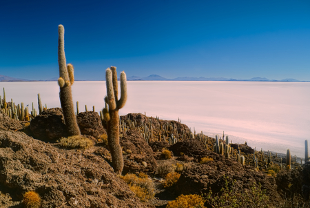 salar de uyuni: Huge cactuses growing near white salt planes Salar de Uyuni in Bolivia
