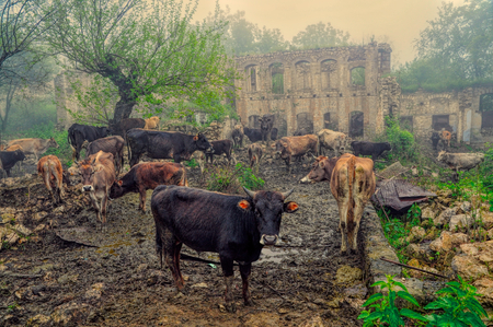 Livestock in front of ruins of house in mountainous Karabakh destroyed by war photo