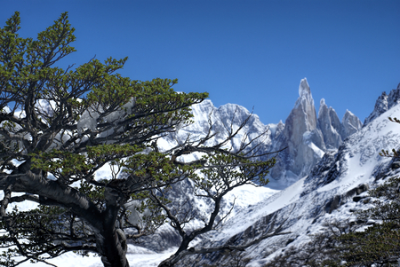 los glaciares: Close-up view of a tree with snowy mountains in the background in Los Glaciares National Park Stock Photo