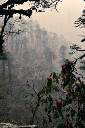 himalayas: Rhododendron flowering in rainy Himalayas mountains in Nepalese forests