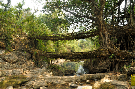 overpass: Old root bridges near Cherapunjee, Meghalaya, India
