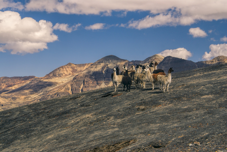 Herd of wild llamas high in the Andes mountains in Bolivia, Choro trek Imagens