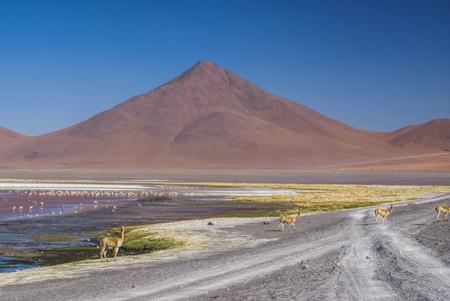 birds desert: Llamas on the road and Flamingo birds in red lake in bolivian desert near Salar de Uyuni