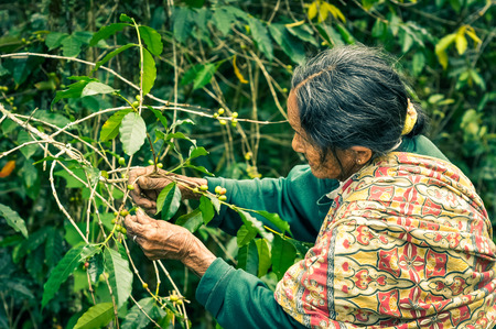 toraja: Toraja, Indonesia - June 2015: Old woman with colourful scarf and green shirt touches branches and fruit of tree in Toraja, Sulawesi region, Indonesia. Documentary editorial.